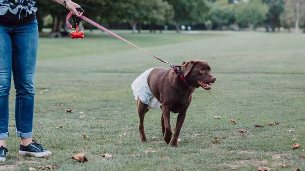 Dogs must wear diapers in public places